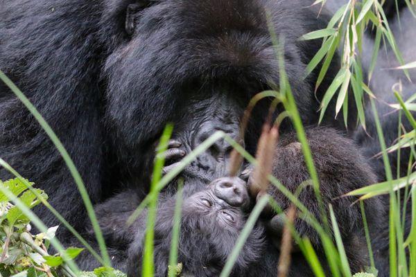 Momma gorilla with new born baby thumbnail