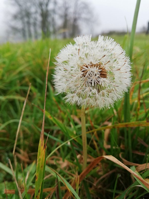 tears of the last autumn dandelion thumbnail