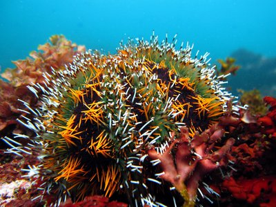 Collector urchins can protect themselves from the sun by covering themselves with bits of algae, coral and other detritus.