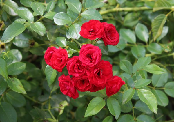 English Tea Roses thumbnail