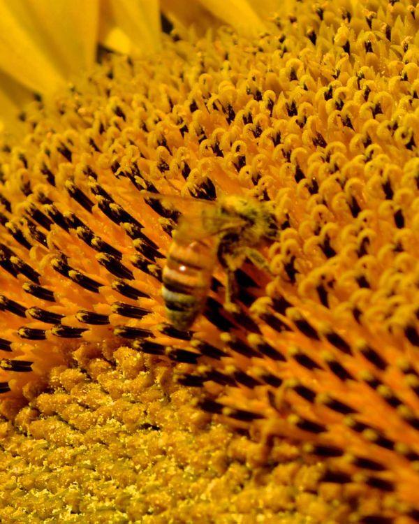 Honeybee Covered in Pollen thumbnail