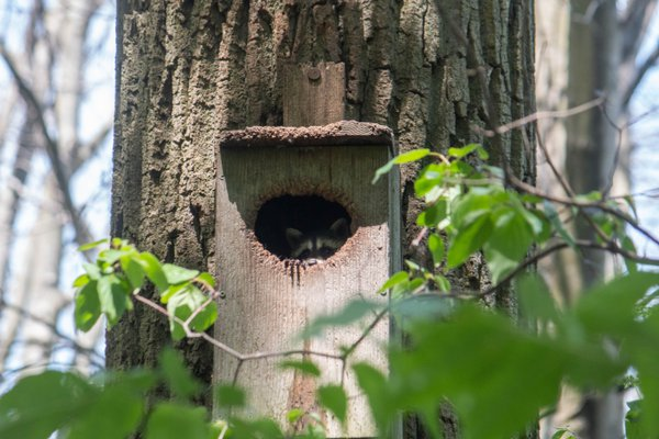 Raccoon in Birdhouse thumbnail
