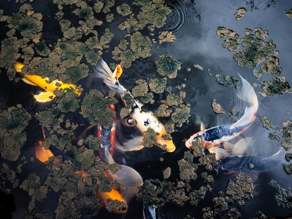 Koi Carp at the East Gardens of the Imperial Palace, Tokyo thumbnail
