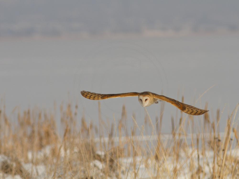 An owl in mid-flight over a field in winter