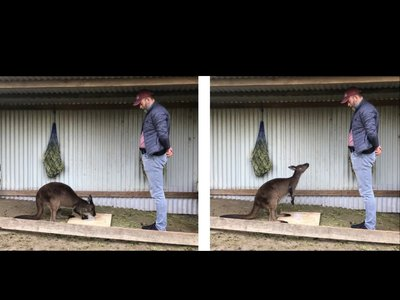 Two sequential photos showing a kangaroo alternating its gaze between a box full of food it can't open and a human.