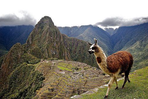 Llamas can still be found at Machu Picchu today.