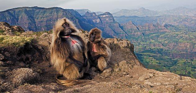 Ethiopia Monkey Geladas