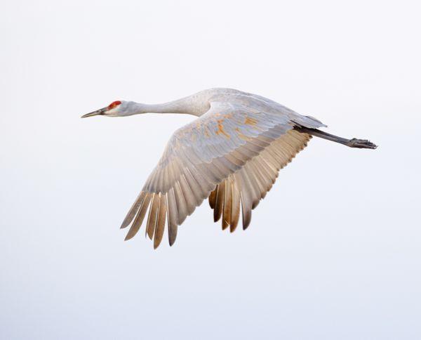 Sandhill crane flying over the Bosque del Apache thumbnail