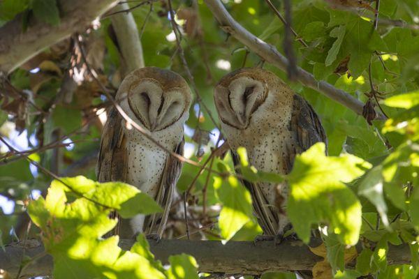 Barn Owl Duo thumbnail