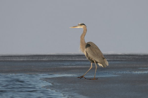 Blue Heron looks for a place to fish thumbnail