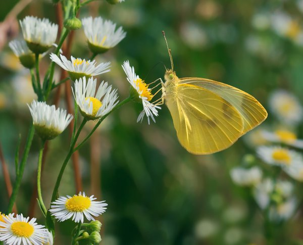 A sulphur butterfly sampling nectar from some fleabane wildflowers thumbnail