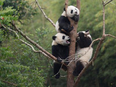 Giant Panda cubs developing their tree-climbing skills at China's Chengdu Panda Base