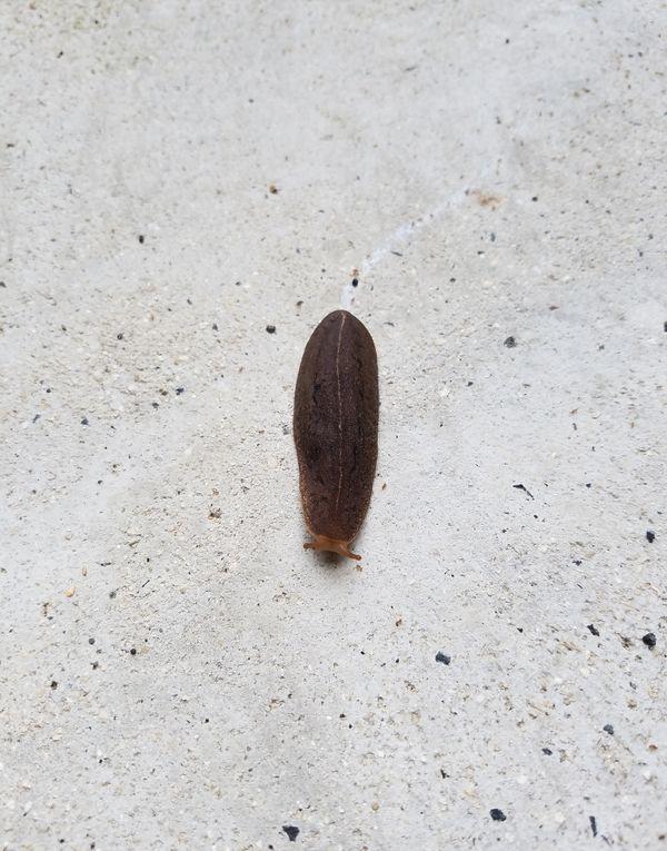 Hawaiian Slug thumbnail