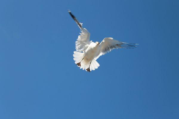 Seagull prepares for landing thumbnail