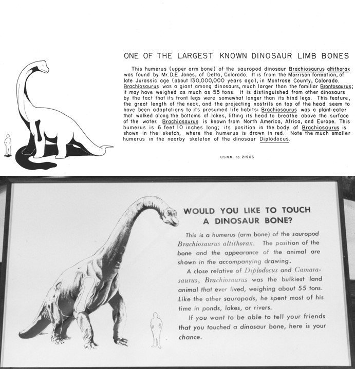 Black and white exhibit labels describing a sauropod humerous bone on display in the Smithsonian's fossil hall in the 1930s and 1960s.