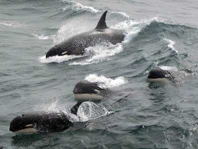 Researchers crossed paths with a pod of Type D whales during a January expedition