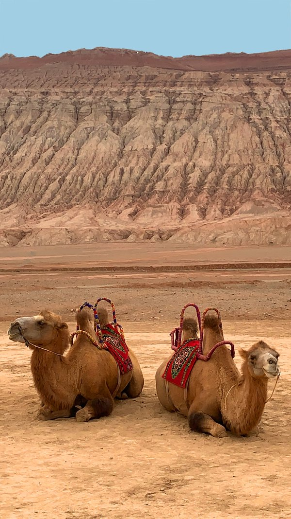 Two Camels thumbnail