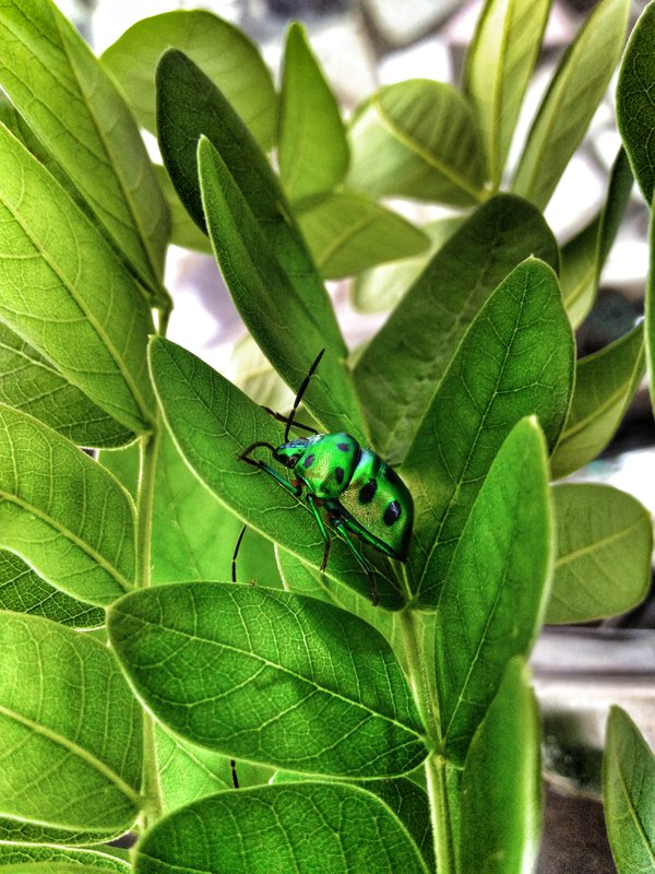 a greenish gold bug on the leaf  thumbnail