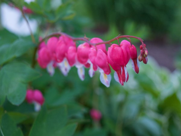 Bleeding Hearts thumbnail