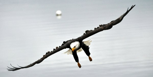 Bald Eagle on the hunt in the Pacific Northwest thumbnail