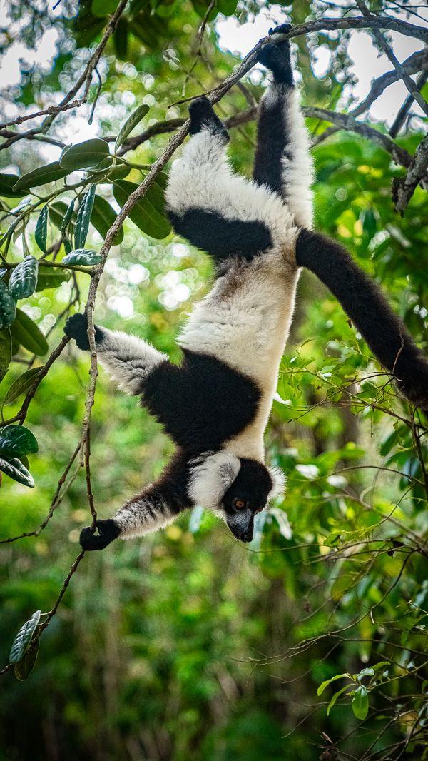 A Black and White Ruffed Lemur in Eastern Madagascar thumbnail
