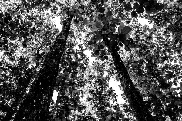 Teak forest at Jaldapara national park  thumbnail