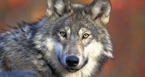 wolf-howls-small.jpg
