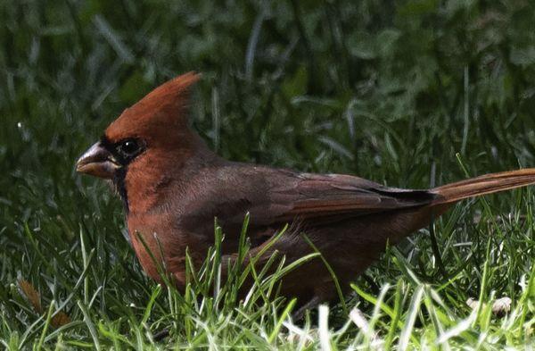 Maturing juvenile male cardinal thumbnail