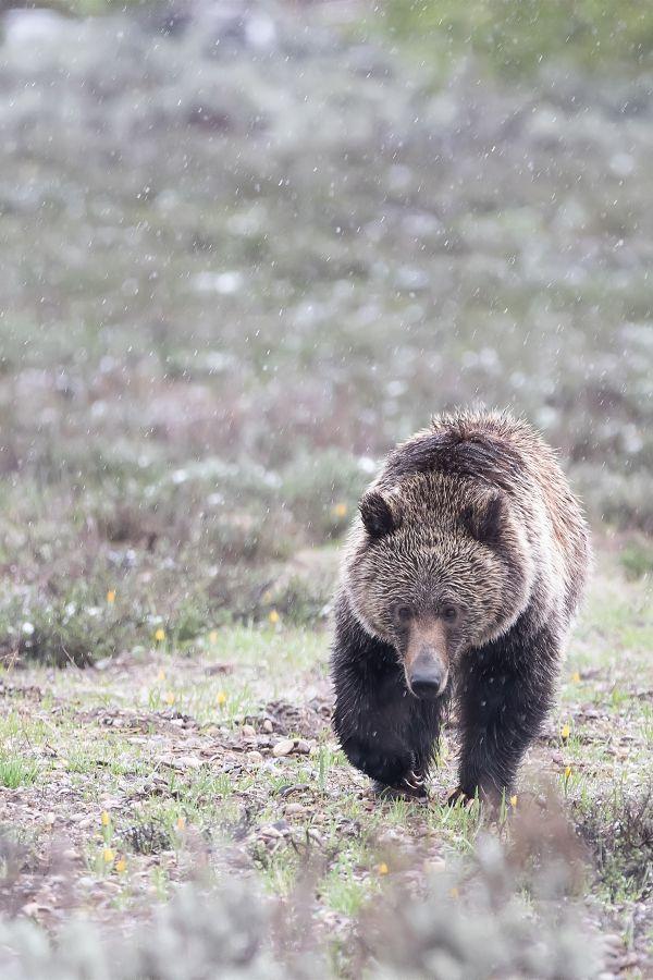 Grizzly Cub thumbnail