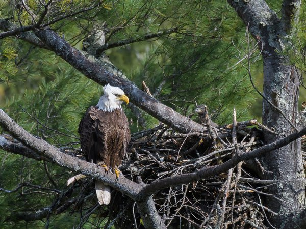 Bald Eagle and Chick thumbnail