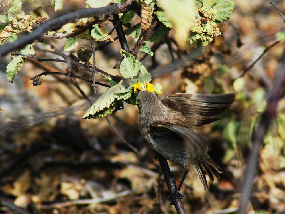 Vampire finch sips nectar from yellow flower blossom, appearing camouflaged into the branches