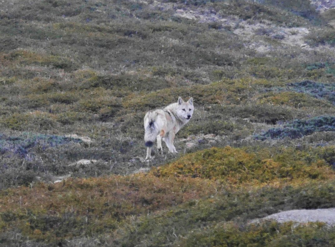 Should the Himalayan Wolf Be Classified as a New Species?