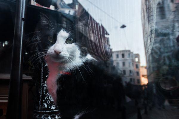 Istanbul cat thumbnail