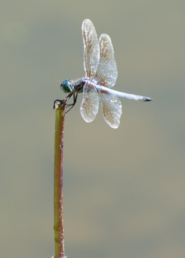 dragon fly on branch thumbnail