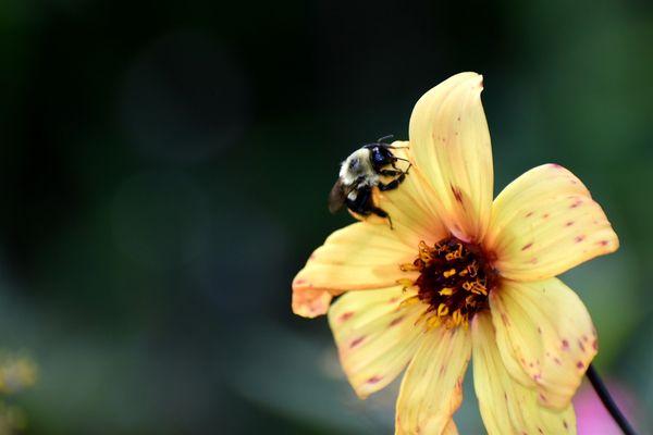 Bumblebee on a yellow flower thumbnail