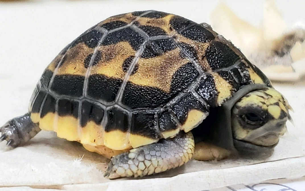 A 2-month-old spider tortoise, a small tortoise with scaly skin and a black and yellow carapace (shell).