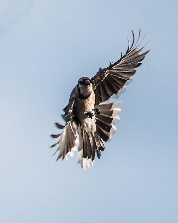 Blue Jay in Flight thumbnail