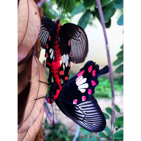 Mating Buterflies in Cambodia thumbnail
