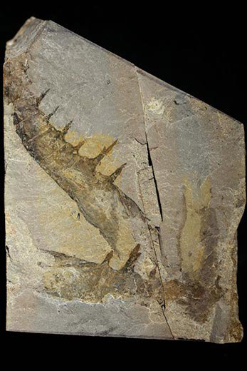 Claws of Anomalocaris canadensis