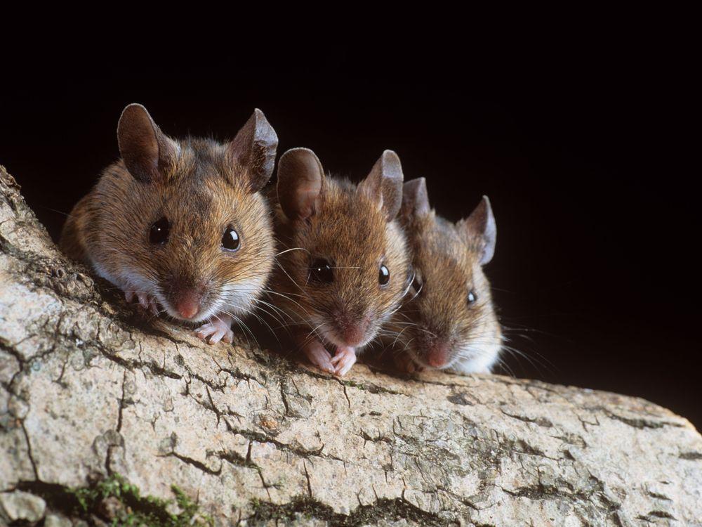 Three Mice