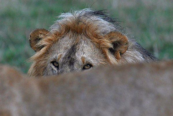 "Eye contact"" Lions of the mara"" thumbnail"