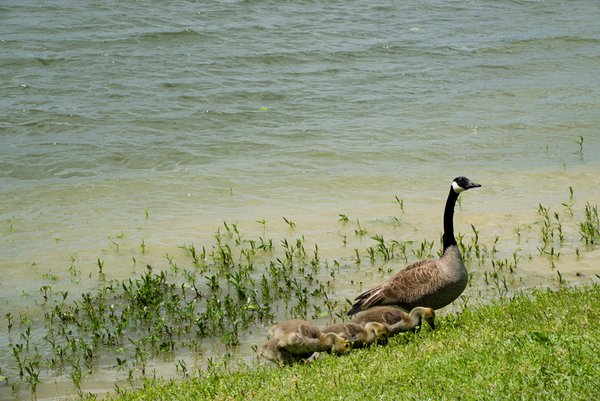 Goose & goslings thumbnail
