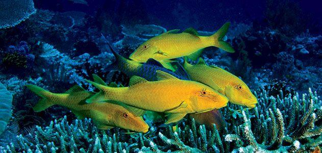 Yellow saddle goatfish