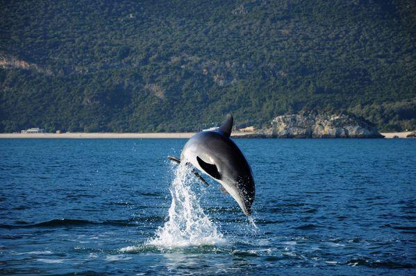 Sado Dolphin thumbnail