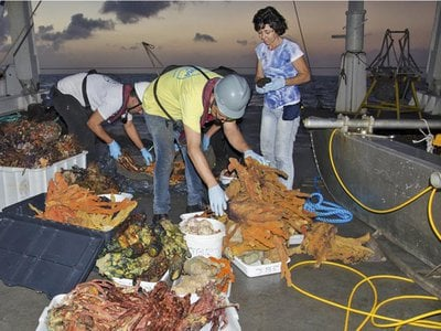 Researchers sort through finds recovered from trawling in the central section of the Amazon reef.