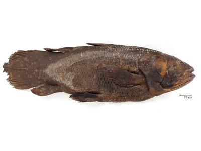 At the time of capture, the Smithsonian's coelacanth specimen weighed about 160 pounds and measured a little less than five and a half feet long.