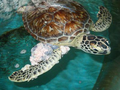 Soft tumors make life hard for sea turtles.