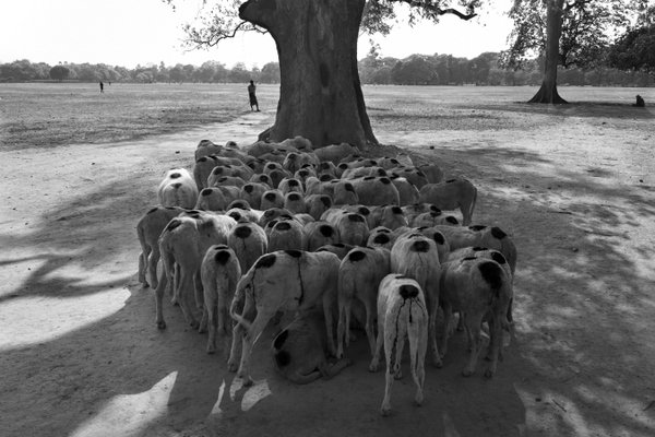 Flock of Sheep thumbnail