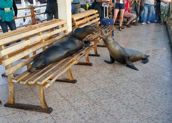 Galapagos Sea Lions fighting for the bench on Santa Cruz Island in Galapagos  thumbnail