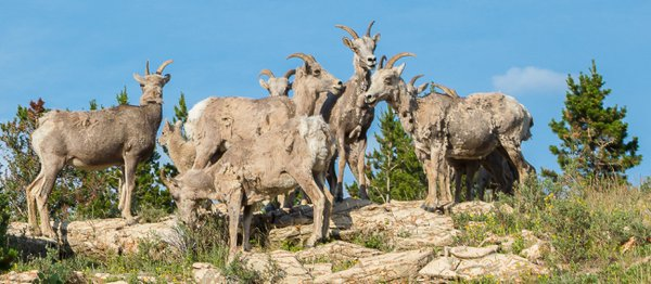 Bighorn Sheep Gathering thumbnail